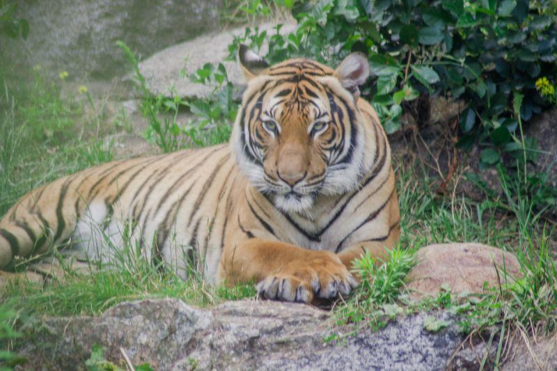 Tiger im Berliner Zoo